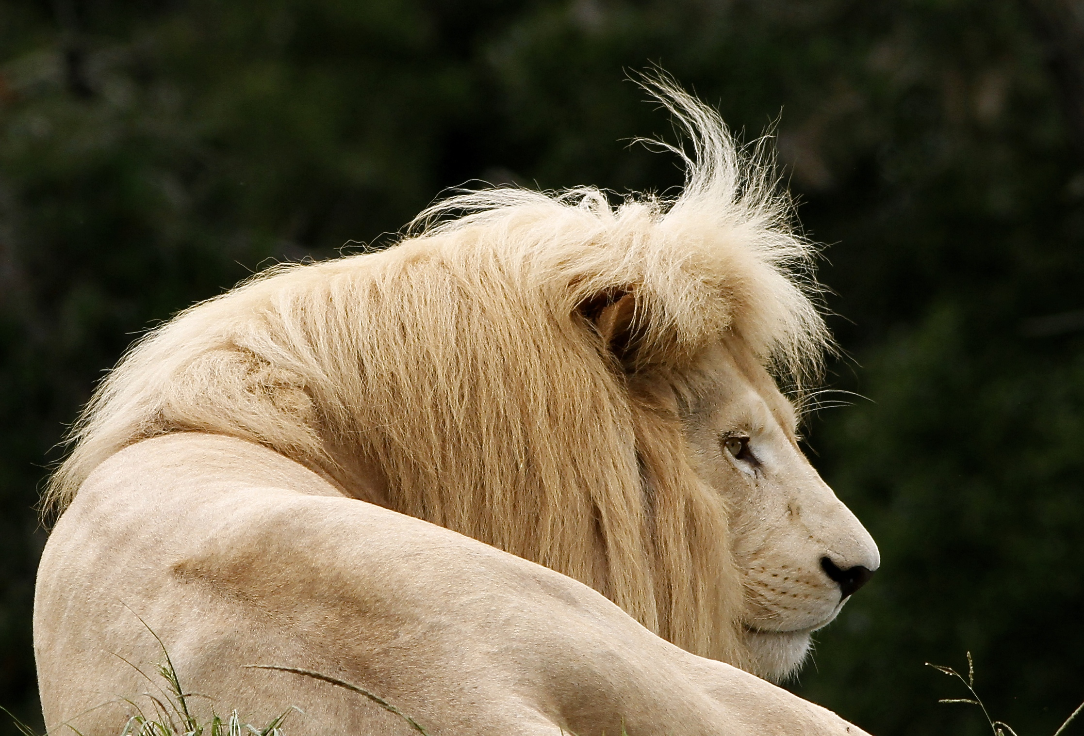 https://www.plettenbergbay.com/userfiles/images/Check-that-fringe-of-the-White-lion-at-Jukani.JPG
