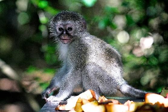 https://www.plettenbergbay.com/userfiles/images/monkey.jpg